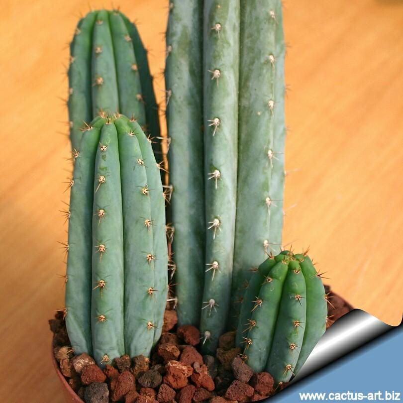 I am looking for trichocereus pachanoi cactus