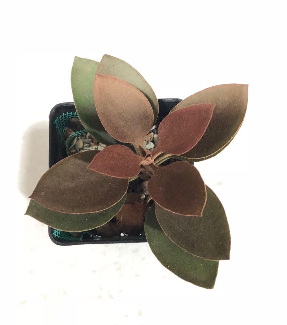 Giving away copper plant