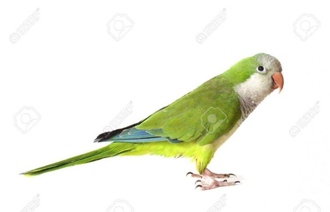 Quaker/ Monk Parrot