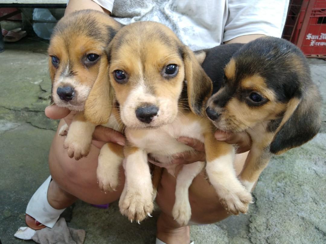 beAgle male puppies
