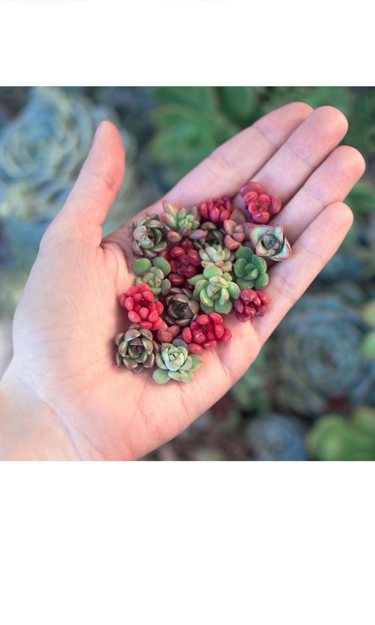 Baby/ Mini succulents