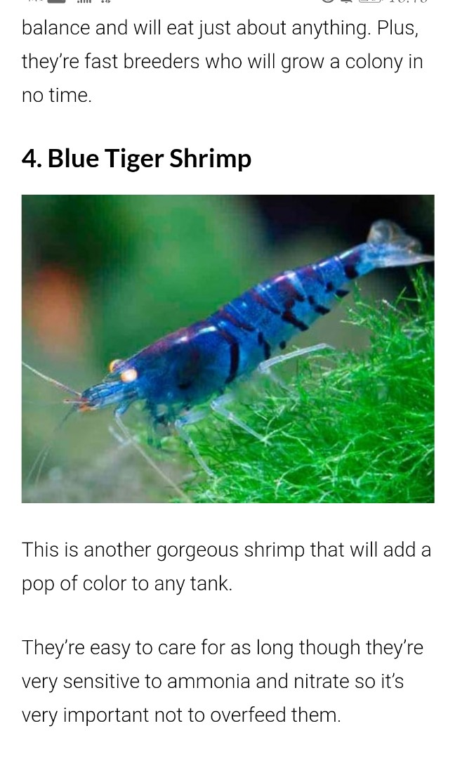 Blue neocaridina shrimps
