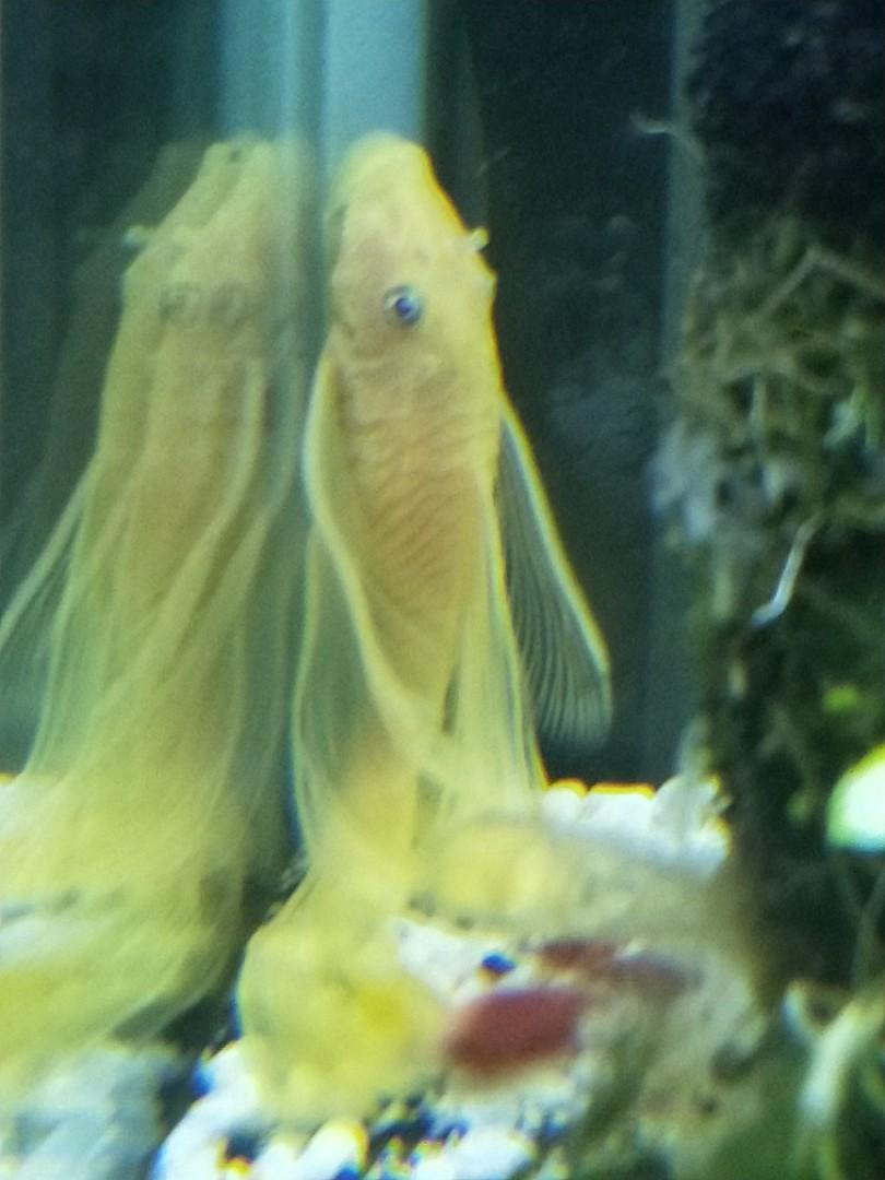 albino long fin blue eye bristle nose