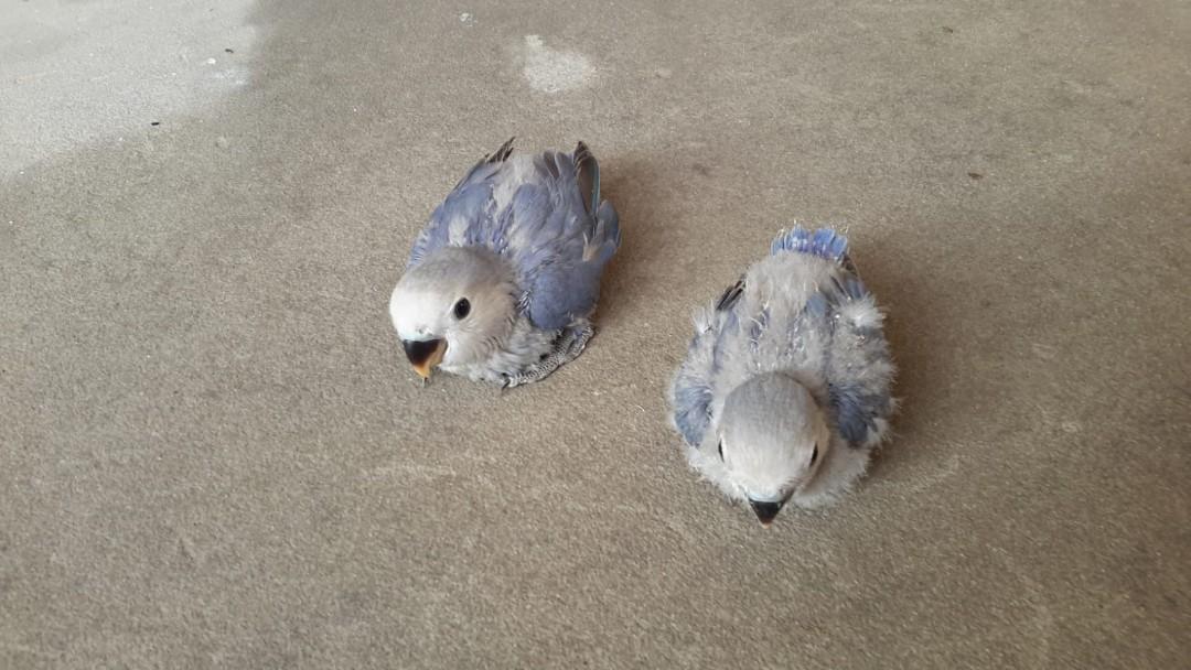 lovebird blue