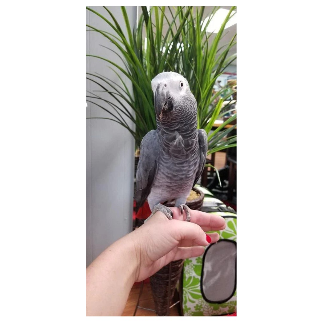 Looking for a tamed / semi tamed parrot for a young family of four.