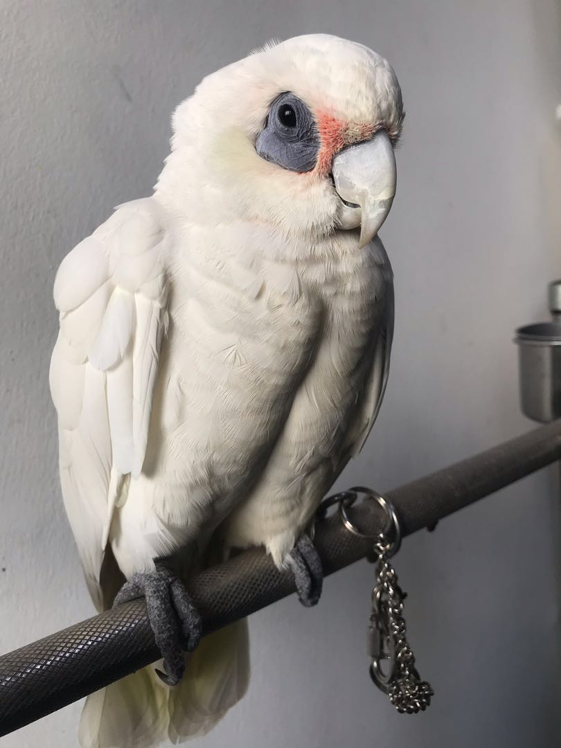 Short billed corella to rehome